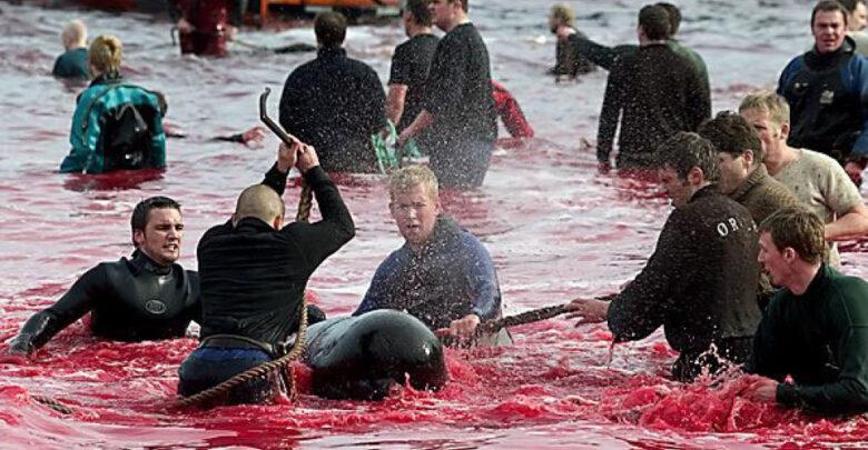 Matan a miles de delfines por tradición en Dinamarca 1 - Pátzcuaro Noticias