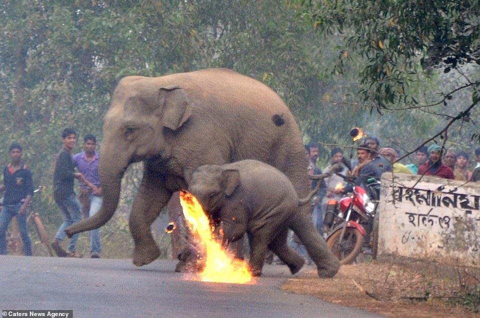 Lanzan bombas de fuego a mamá y cría elefante, que huyen por deforestación 5 - Pátzcuaro Noticias
