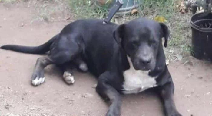Perrito sale a pasear y vuelve con un cuchillo enterrado - Pátzcuaro Noticias