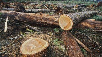 Quiroga víctima de la tala de árboles clandestina