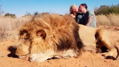 Matan a león para tomarse foto junto a él mientras se besan