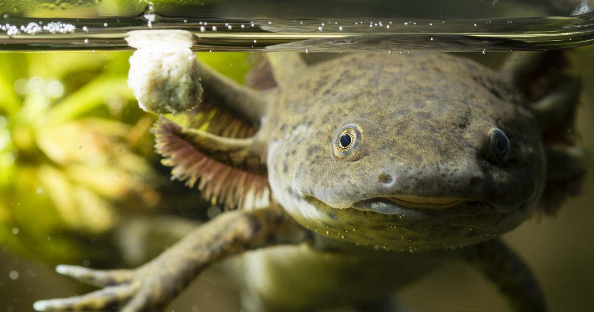 El achoque, salamandra de Pátzcuaro capaz regenerar su cuerpo