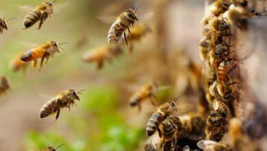 Michoacán creará un Santuario para la protección de las abejas 1 - Pátzcuaro Noticias