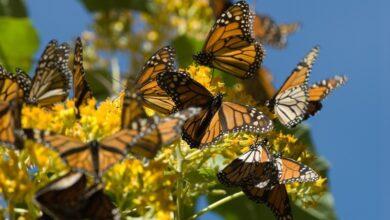 Hallan nuevo santuario de la mariposa monarca en Michoacán