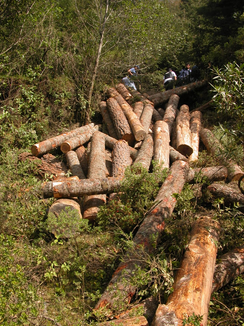 Investigan tala de árboles en bosque de Pátzcuaro