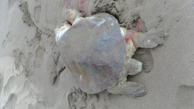 7 tortugas marinas muertas en Lázaro Cárdenas, Michoacán
