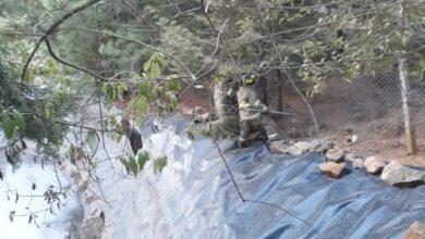 Liberan gato montés atrapado en la zona del Estribo Grande de Pátzcuaro