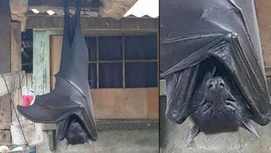 Se viraliza la imagen de un murciélago de tamaño humano [FOTO]