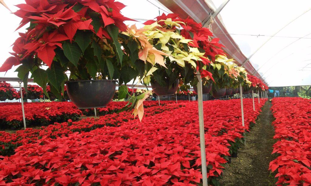 Anuncian Bazar de Árboles de Navidad en Michoacán 2020
